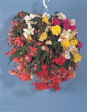 Begonia Tuberous Illumination Series Mix