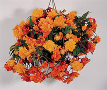 Begonia Tuberous Illumination Series Apricot