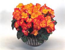 Begonia Tuberous - Pin Up Pl Series - Flame