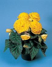 Begonia Tuberous - Non Stop Pl Series - Yellow