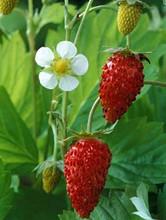 Vesca Var Vesca Strawberry
