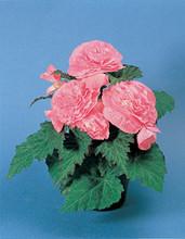 Begonia Tuberous - Non Stop Pl Series - Pink Seeds
