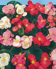 Begonia Fibrous Super Olympia Series Mix