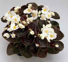 Begonia Fibrous Senator Series White