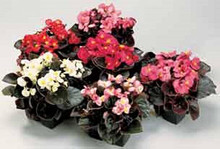 Begonia Annual Seeds  Fibrous Senator Series Mix