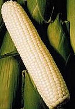 Silver King White Corn