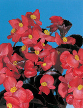 Begonia Fibrous Party Series Red Bronzeleaf