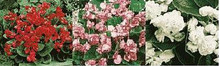 Begonia Fibrous  Queen Series Mix