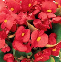 Begonia Seed Fibrous Ambassador Series Coral