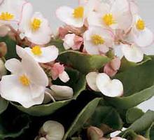 Begonia Fibrous Ambassador Series Bicolor
