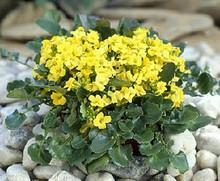 Barbarea Rupicola Sunnyola Perennial