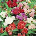 Balsam Camellia Mix
