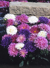 Aster Powderpuff Mix