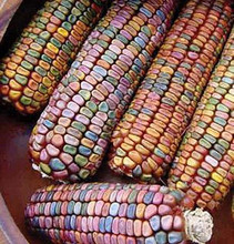 Earth Tones Ornamental Corn
