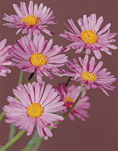 Aster Alpinus Beauty Rose Perennial