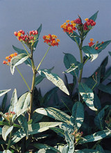 Asclepias Butterfly Weed Curassavica Red Butterfly Perennial