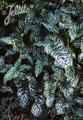 Arum Italicum Perennial Seeds