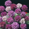 Armeria Thrift Latifolia Large Flowering Hybrid Perennial
