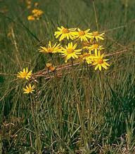 Arnica Montana Perennial Seeds Pase Perennial