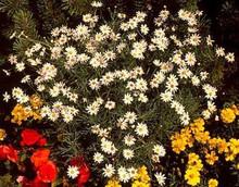 Argyranthemum Snow White Annual