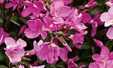 Arabis Blepharophylla Spring Charm Perennial
