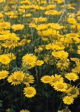 Anthemis Tinctoria Kelwayi Perennial