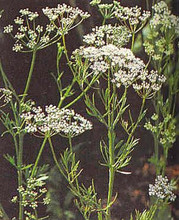 Herb Seeds - Anise