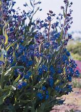 Anchusa Azurea Dropmore Perennial Seeds