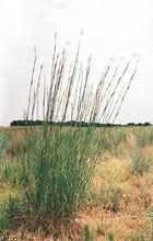 Ornamental Grass Seed - Andropogon Gerardii Big Bluestem Seeds