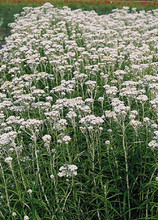 Anaphalis Pearly Margaritacea New Snow Perennial Seeds