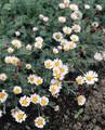 Anacyclus  Depressus Carpet Daisy Perennial Seeds