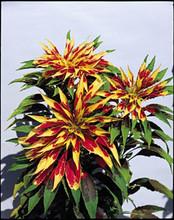 Amaranthus Tricolor Perfecta Annual Seeds
