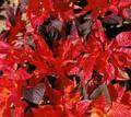 Amaranthus Molten Fire Annual Seeds