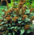 Amaranthus Hot Biscuits Annual Seeds