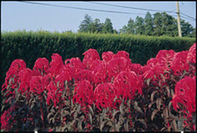 Amaranthus Early Splendor Annual Seeds