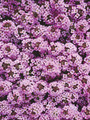 Alyssum Wonderland Series Lavender Annual Seeds