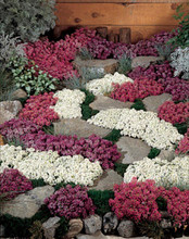 Alyssum Wonderland Series Mix Annual Seeds