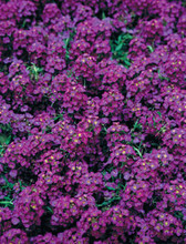 Alyssum Wonderland Series Deep Purple Annual Seeds