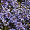 Alyssum Wonderland Series Blue Annual Seeds