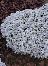 Alyssum New Carpet Of Snow Annual Seeds