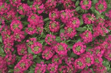 Alyssum Easter Bonnet Series Violet Annual Seeds