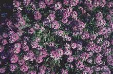 Alyssum Easter Bonnet Serie Lavender Annual Seeds