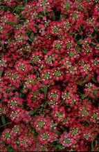 Alyssum Easter Bonnet Serie Deep Rose Annual Seeds