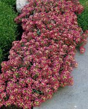 Alyssum Aphrodite Series Red Annual