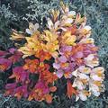 Alstromeria Auriantiaca Ligtu Dr. Salters Hybrid Perennial