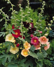 Alcea Ficifolia Single Mix Perennial
