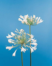 Agapanthus  Africanus White Giant Perennial