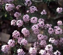 Aethionema Coridfolium Perennial