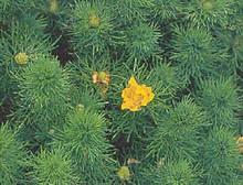 Adonis Vernalis Perennial