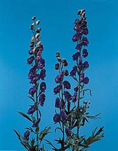 Aconitum Monkshood Napellus Perennial
